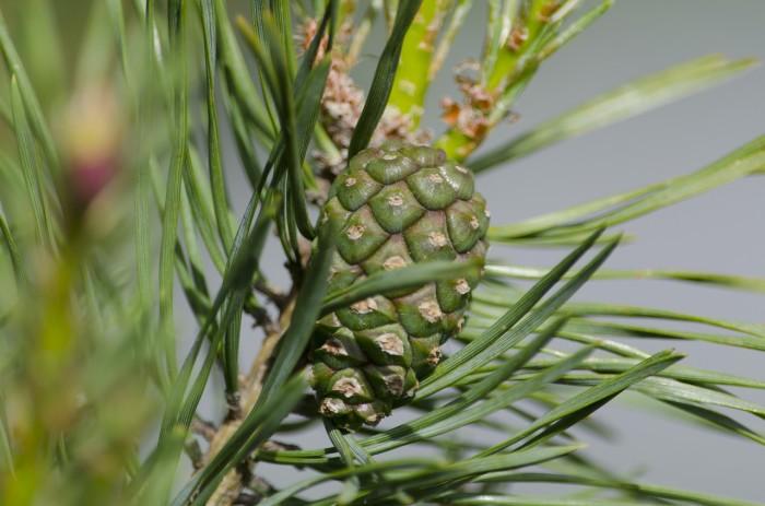 pine-815734_1280